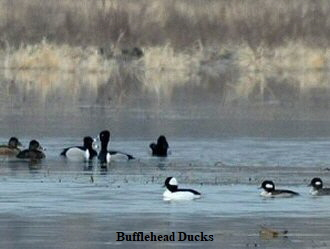 Bufflehead Ducks - 330 x 248