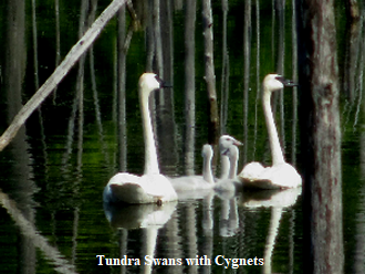 Tundra Swans with Cygnets - 330 x 248