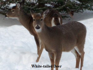 White-tailed Deer - 2 - 300 x 225